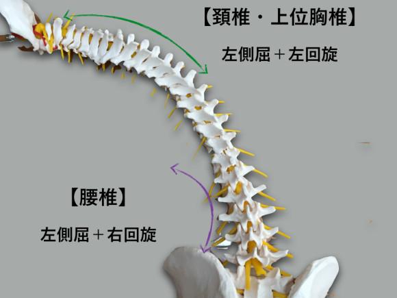 胸椎・胸郭 脊柱.007