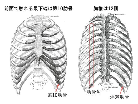 胸椎・胸郭.002