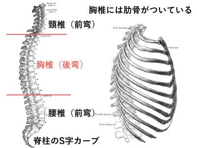 胸椎・胸郭.004