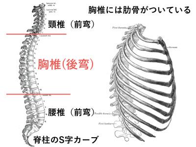 胸椎の位置