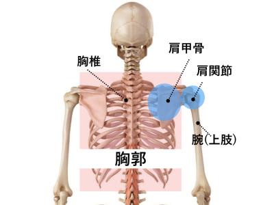 胸郭・胸椎・肩甲骨の位置関係 版権: / 123RF 写真素材