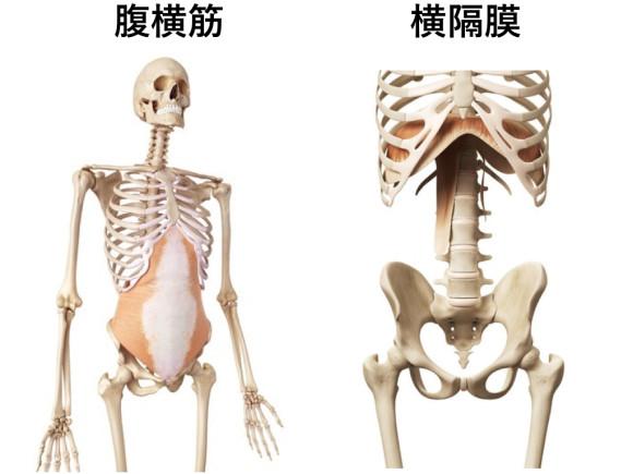 腹横筋と横隔膜