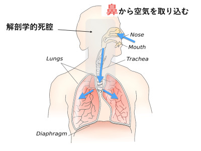 解剖学的死腔と呼吸の関係