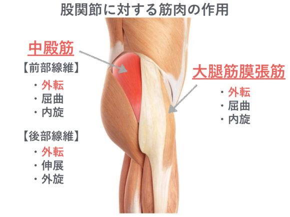 中殿筋と大腿筋膜張筋 版権:  / 123RF 写真素材