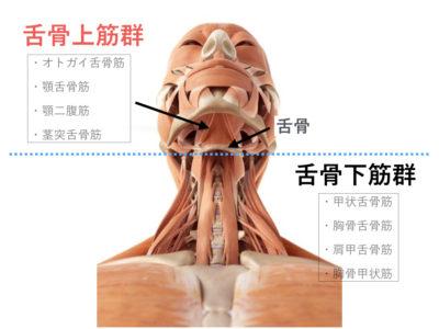 舌骨上筋群の位置 版権:  / 123RF 写真素材
