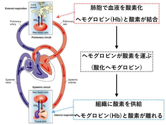 ヘモグロビンが酸素を運ぶ