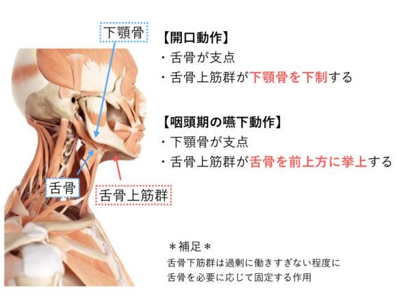 舌骨上筋群の作用 版権:  / 123RF 写真素材