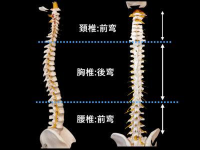 脊柱の全体像