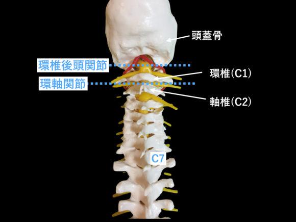 環椎・軸椎体と関節