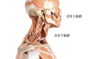 舌骨上筋群と舌骨下筋群